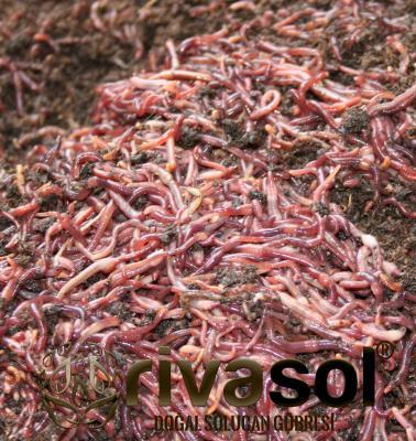 Rivasol® Kırmızı Kaliforniya Solucanı 3.000 Adet ve 5 Kg Mama